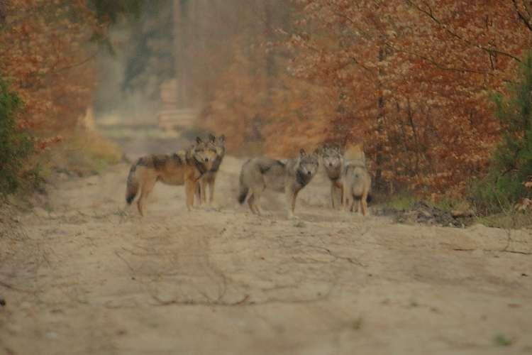 USUNIĘTE Informacje, Wataha wilków terenie Nadleśnictwa Lipka - zdjęcie, fotografia