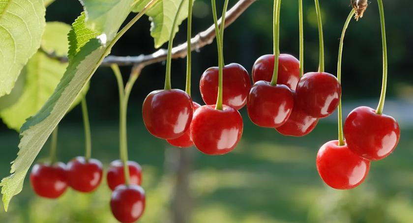 Ludzie i ich pasje, sadzić pielęgnować wiśnie obficie owocowały - zdjęcie, fotografia