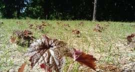 Na tropie żurawki purpurowej
