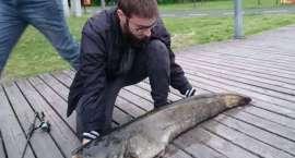 15 kg sum złowiony w Jeziorze Miejskim