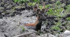 Leśnicy z Nadleśnictwa Lipka uratowali daniela