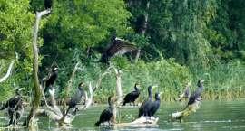 Goniąc kormorany