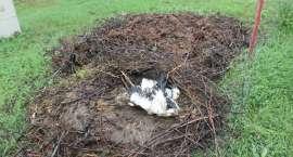 Spadło bocianie gniazdo, jeden ptak nie żyje