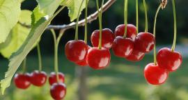 Jak sadzić i pielęgnować wiśnie, aby obficie owocowały?