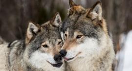 Wilki w Borach Kujańskich