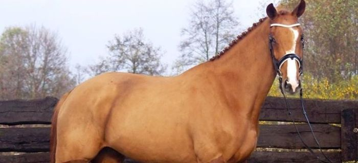 Hodowla koni, Przygotowanie konia - zdjęcie, fotografia