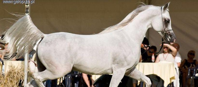 Targi i wystawy jeździeckie, Krakowski Pokaz Arabskich – zaproszenie udziału - zdjęcie, fotografia