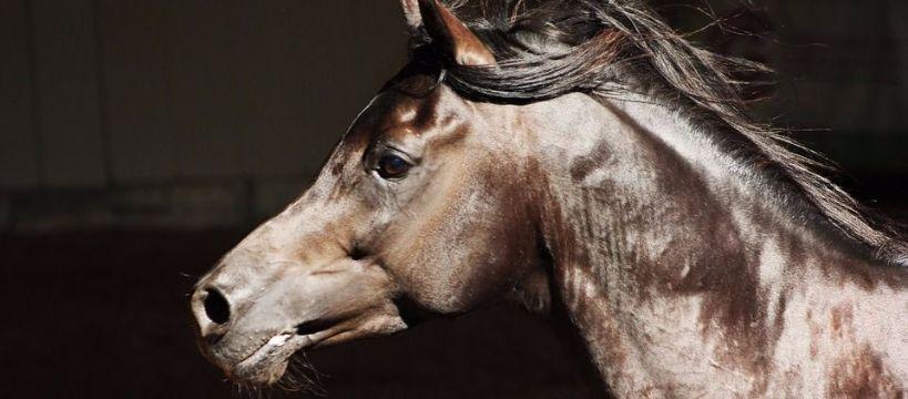 Biznes jeździecki, Polski Wstyd Polski Aukcja Arabskich Janowie Podlaskim - zdjęcie, fotografia