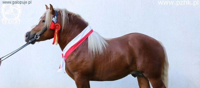 Targi i wystawy jeździeckie, Wystawa – Sprzedaż Ogierów Zimnokrwistych SZEPIETOWO - zdjęcie, fotografia