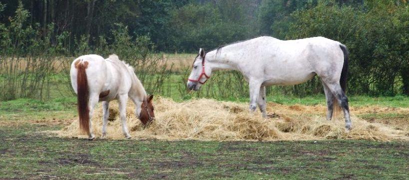 Hodowla koni, Chów otwarty czyli stajni Najtaniej najzdrowiej! - zdjęcie, fotografia