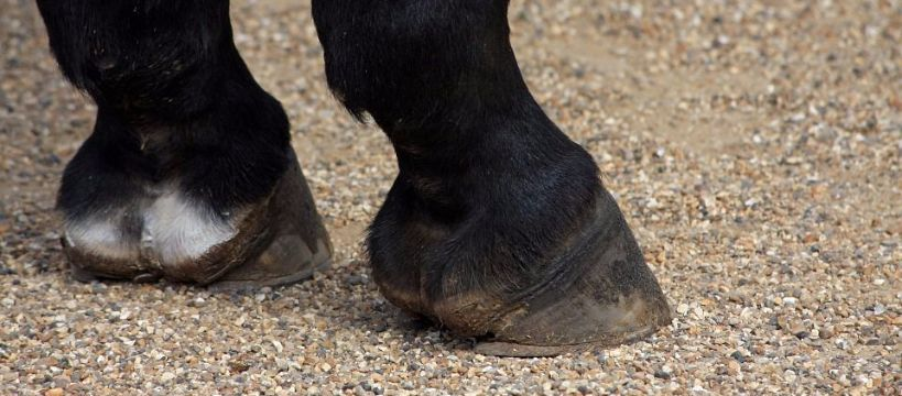 Kowalstwo koni, Ochwat można wyleczyć ochwatu można dopuścić - zdjęcie, fotografia