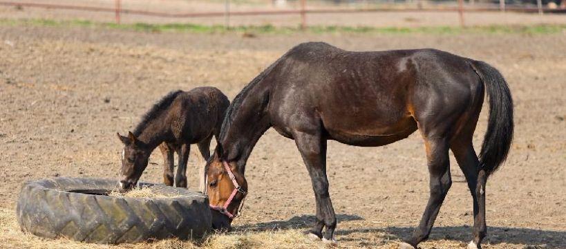 Hodowla koni, Racjonalne żywienie - zdjęcie, fotografia