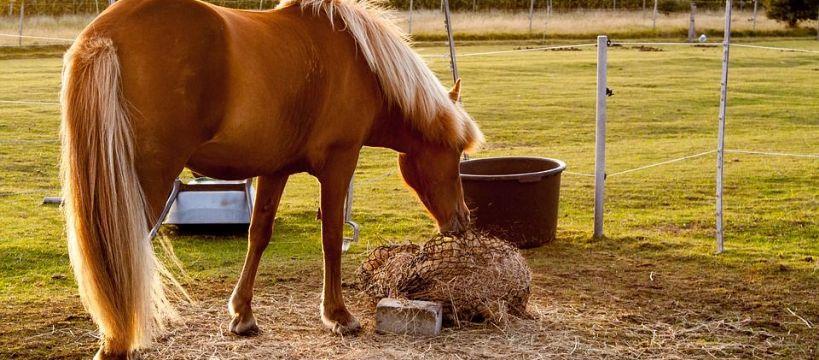 Hodowla koni, Smakołyki warto - zdjęcie, fotografia