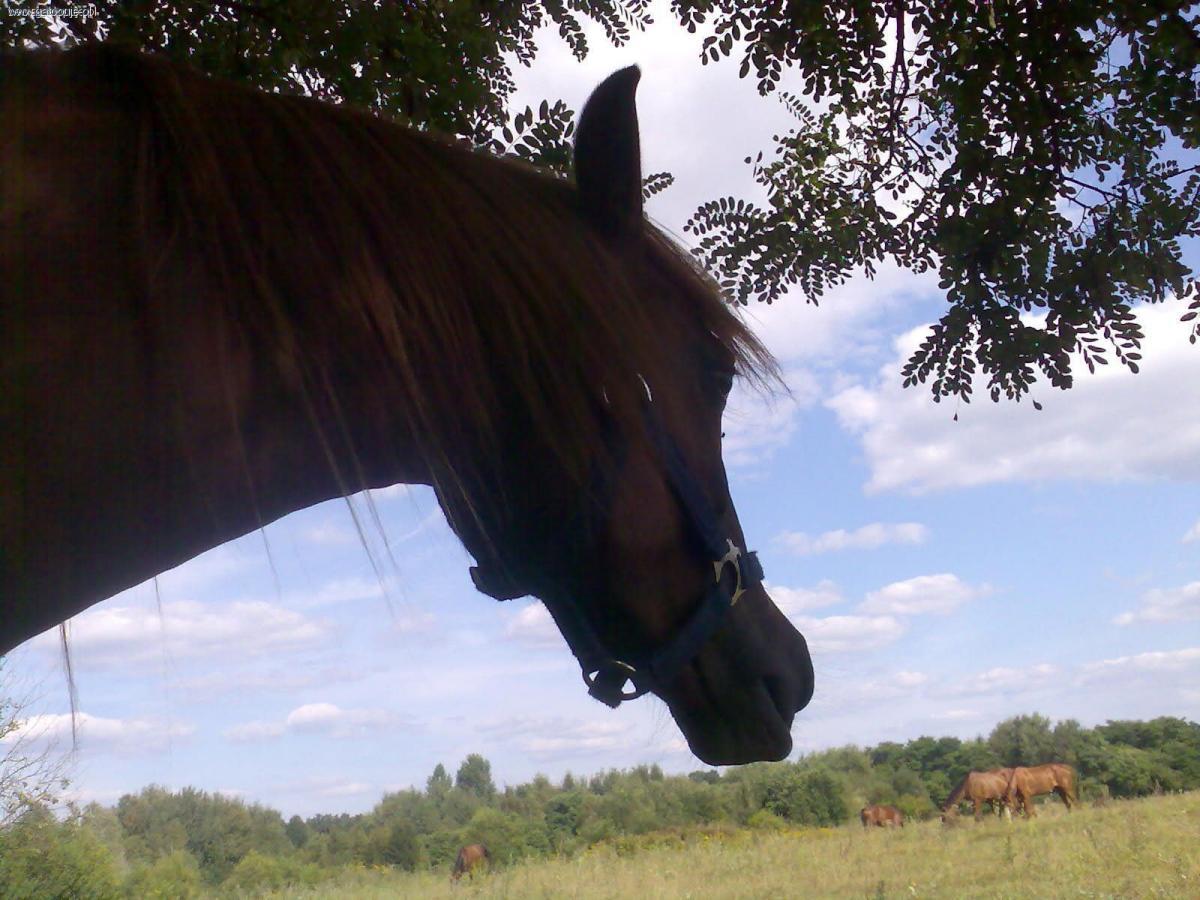 Trening konia, Układanie młodych - zdjęcie, fotografia