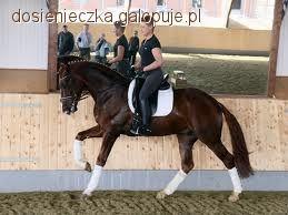 Trening konia, Kontrgalop - zdjęcie, fotografia