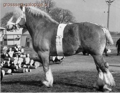 Hodowla koni, Szwedzki Ardeński - zdjęcie, fotografia