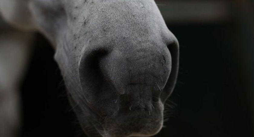 Weterynaria, Krwawienie końskich nozdrzy - zdjęcie, fotografia