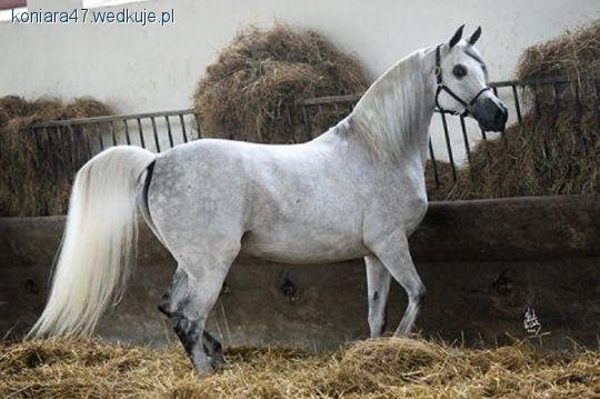 Hodowla koni, Konie czystej arabskiej - zdjęcie, fotografia