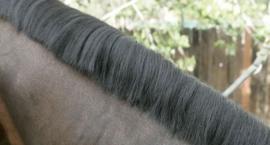 Obcinanie grzywy u konia