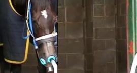 Choroba RAO u koni