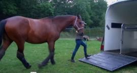 Załadunek konia do przyczepy