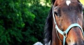 PROTON - koń po karierze sportowej