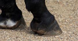 Odpowiednia pielęgnacja końskich kopyt