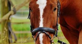 Choroba wrzodowa u koni
