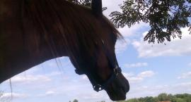 Układanie młodych koni