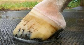 Chłodzenie nóg konia