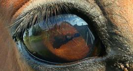 Ropienie oczu u konia