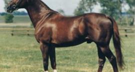 Koń angloarabski :)