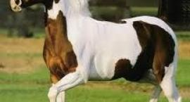 Koń Pinto