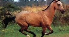 Konie achał-tekińskie