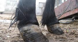 Najczęściej spotykane choroby konia