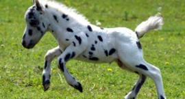 Falabella- najmniejszy koń świata