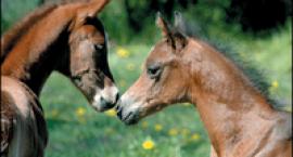 ciekawostki o koniach