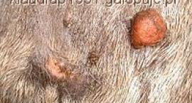 Choroby i urazy spotykane u koni -  Ochwat, Podbicie, Zagwożdżenie, Zapalenie trzeszczki kopytowej