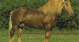 Radziecki ciężki koń pociągowy
