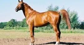 Koń kabardyński - górskie konie hodowlane