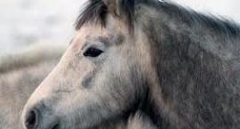 Koń jakucki, konie rosyjskie