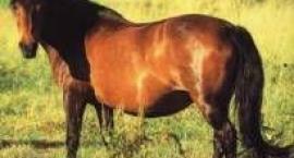 Koń bośniacki