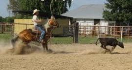 Wiązanie cielaka, czyli Calf roping  - konkurencja western riding