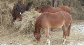 Czym odżywiają się konie? (podstawowa dieta)