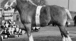 Szwedzki Koń Ardeński