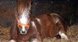 Czy konie śpią na stojąco?