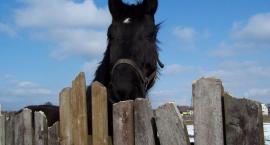Koń narowy - złe nawyki u konia
