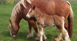 Pokrój - cechy wpływające na wartość użytkową konia