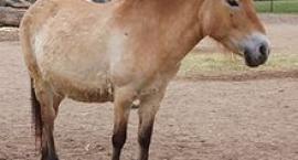 Pochodzenie i udomowienie koni