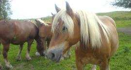 Kupno konia - na co zwrócić uwagę